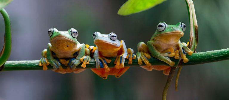 Three Javan Tree Frogs sitting on a branch